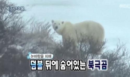 infinite-challenge-pergi-ke-kutub-untuk-lihat-beruang2